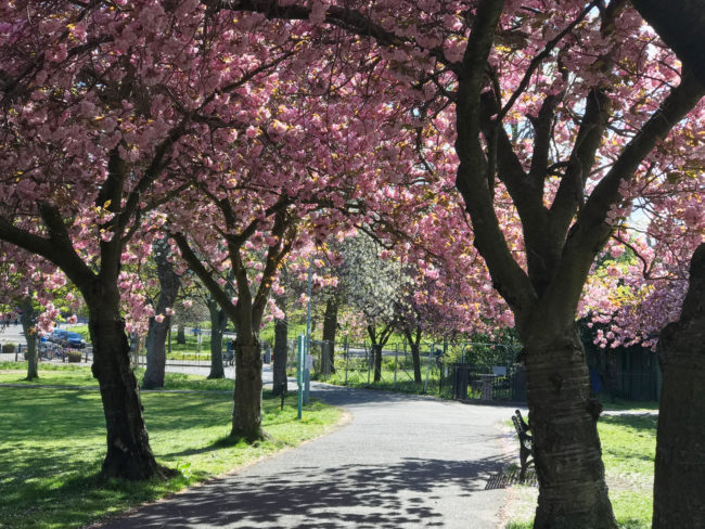 Cherry blossom season in Edinburgh