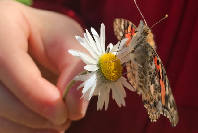 Raising Butterflies with Insect Lore