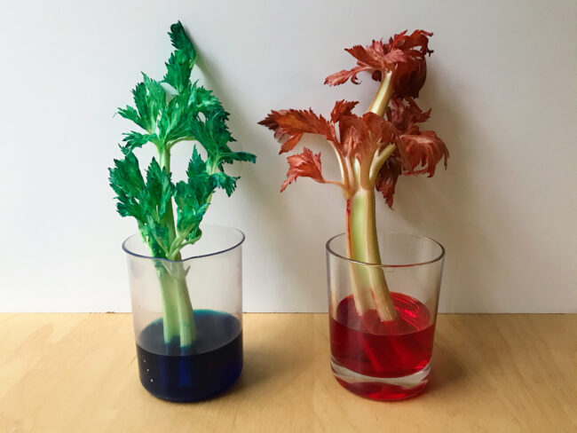 Colour Changing Celery Science Experiment